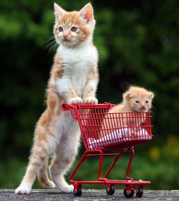 cat pushes kitten in trolley