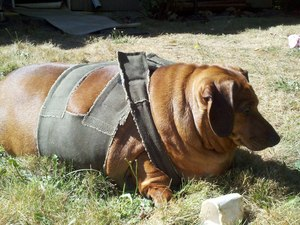 Obie the overweight sausage dog - Dachshund - in his harness lying on the grass