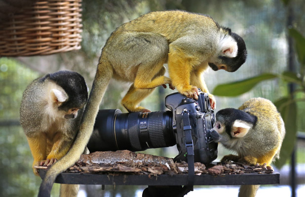 Bolivian squirrel monkeys play with camera, Melbourne Zoo, Australia - 25 Jun 2013 'Cruz', 'Rodrigo' and 'Patchy' the Bolivian squirrel monkeys inspect an unattended DSLR camera in their enclosure at Melbourne Zoo 25 Jun 2013