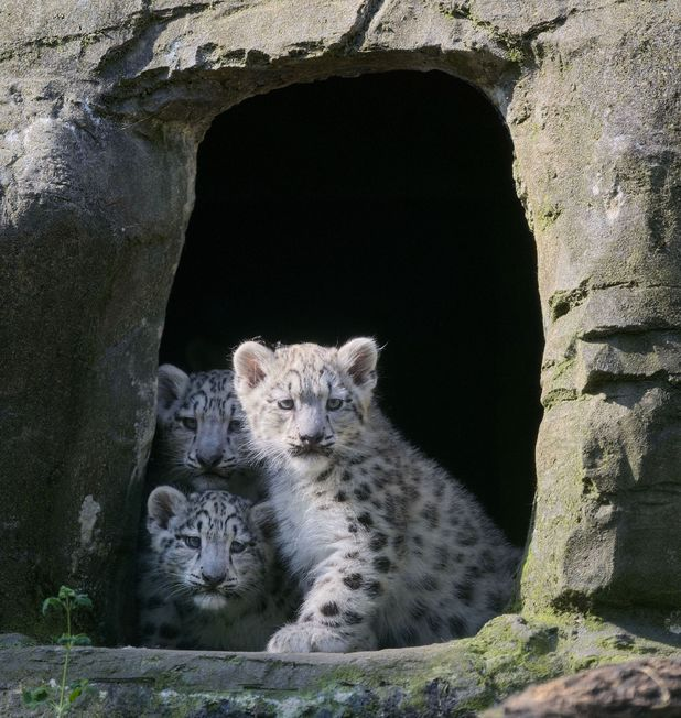Baby snow leopard cubs make first public appearance at Marwell Wildlife, Hampshire, Britain - 17 Jul 2013