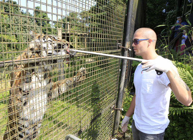 Max George Visits the Welsh Mountain Zoo in Colwyn Bay, Wales, Britain - 16 Jul 2013 Max George feeding the tigers 16 Jul 2013