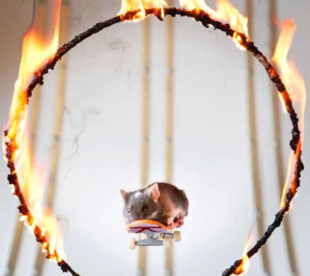 One of Shane's mice skating through a ring of fire!