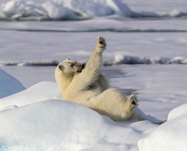 Polar bear appears to be exercising, Spitsbergen, Norway - 20 Jul 2013 Exercising yoga polar bear 3 20 Jul 2013