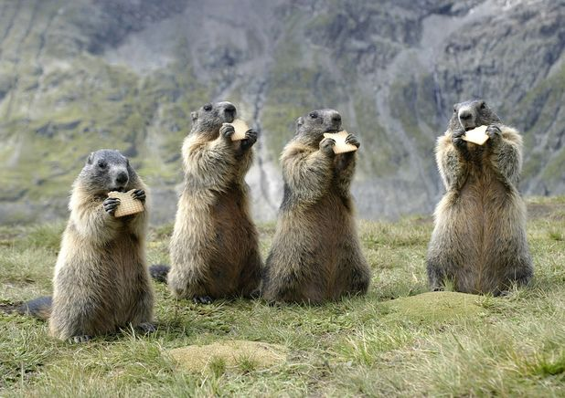 Alpine Marmots spotted in Austria - 2013