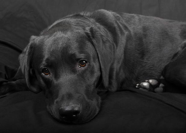 Black Labrador Retriever dog, male 2012