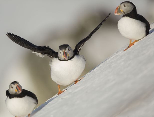 Puffins sliding down a snowy and icy slope, Hornoi Island, Norway - 2013 Atlantic Puffins (Fratercula arctica) on a snow covered slope
