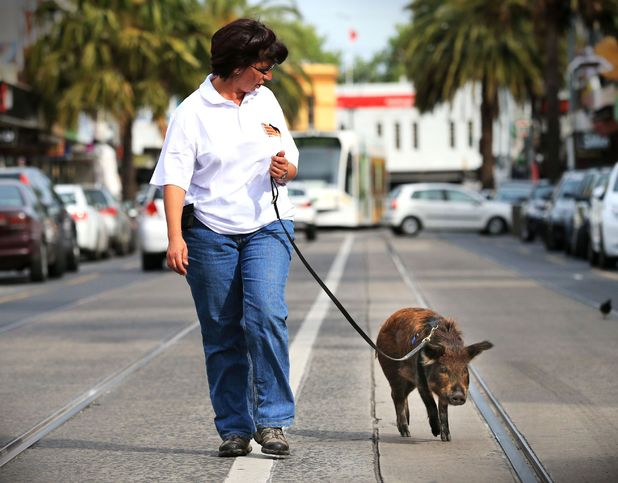 Mini pig Crackling being taken for a walk by dog trainer Sandra Boyle 16 Oct 2013