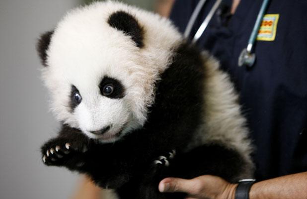 Giant panda bear twin cubs Mei Lun and Mei Huan getting a medical checkup at Zoo Atlanta, November 2013