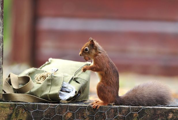 Red squirrel steals hazelnuts out of a bag, Inverness-shire, Scotland - Nov 2013
