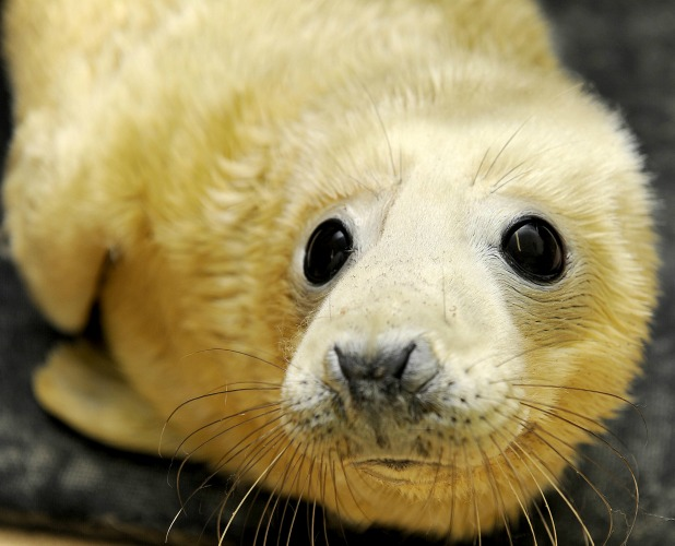 RSPCA East Winch centre inundated with over 100 seal pups separated from mothers by stormy weather, Norfolk, Britain - 10 Dec 2013