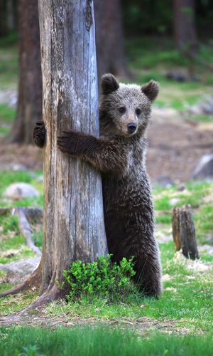 Bear cub appears to play hide and seek, Suomussalmi, Finland - Jun 2013
