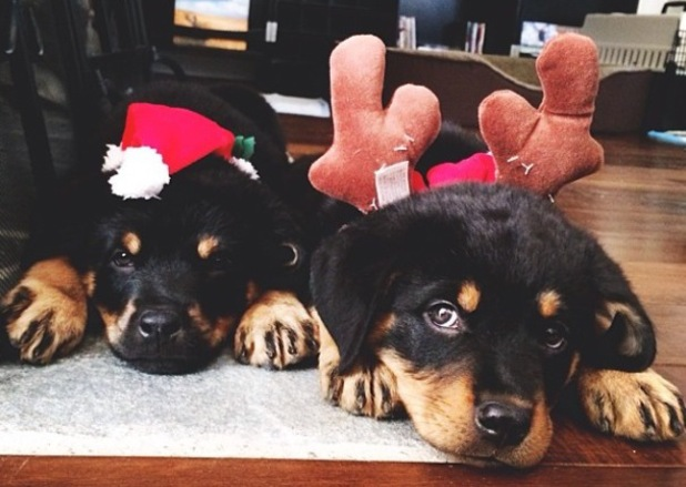 Brody Jenner gets two new puppies in time for Christmas - 23 December 2013