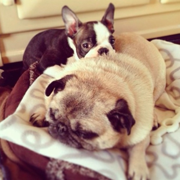 Millie Manderson introduces her new pup Belle, the Boston Terrier, on Instagram - 25 December 2013