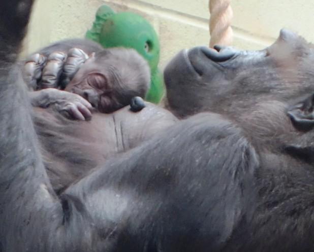 London Zoo welcomes baby Gorilla 10 December
