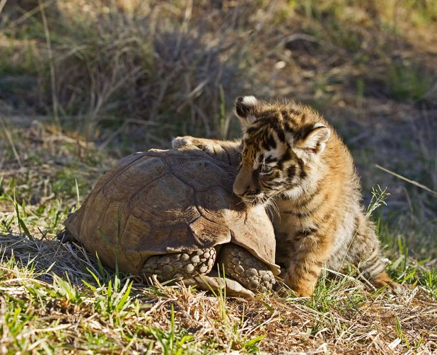 Curious tiger cub examines a tortoise at the Tiger Canyons reservation, Karoo, South Africa - Dec 2013