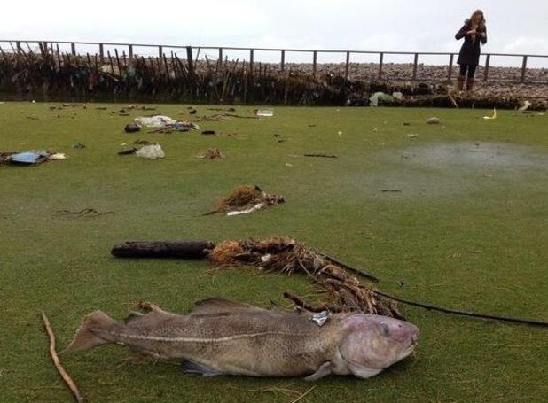 Cod on golf couse