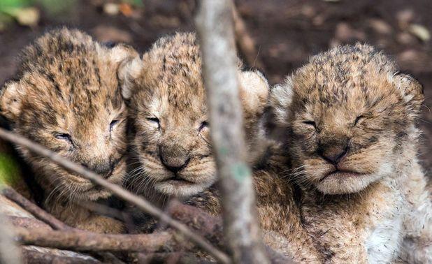 Newborn lion cubs over the course of one week, Masa Mara, Kenya - 16 Dec 2013
