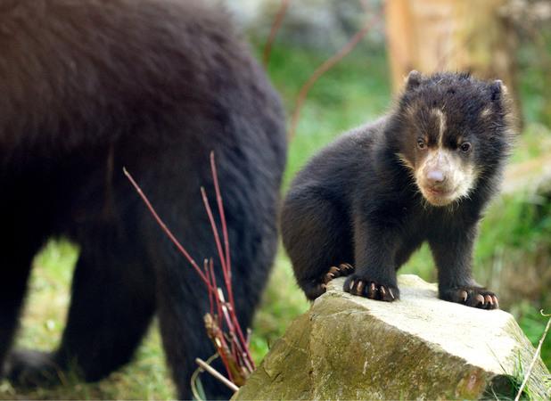 Spectacled bear cub, Duisburg Zoo