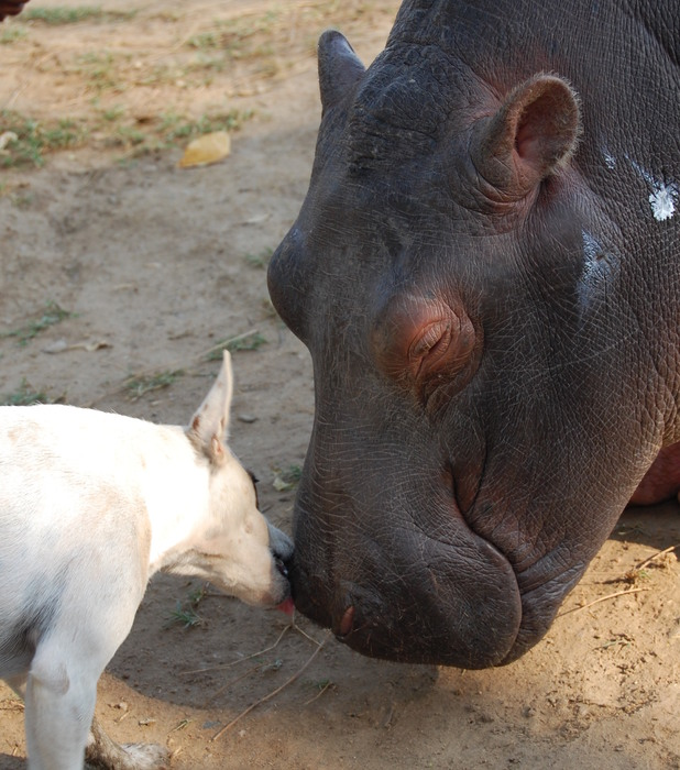 Douglas the hippo, unlikely friends