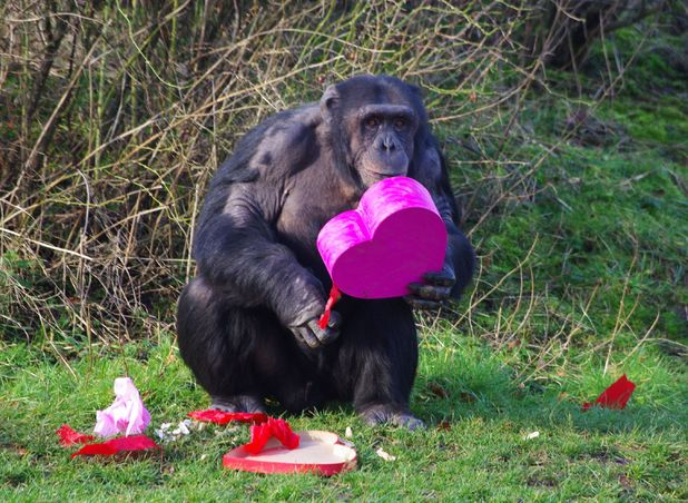 Chimpanzees at ZSL Whipsnade Zoo tuck into heart-shaped treats to get them in the mood for Valentine's Day, Whipsnade Zoo, Britain - 13 Feb 2014