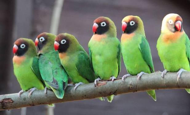 Male lovebirds at Chessington World of Adventures Resort eagerly await the arrival of the female flock (19 February).