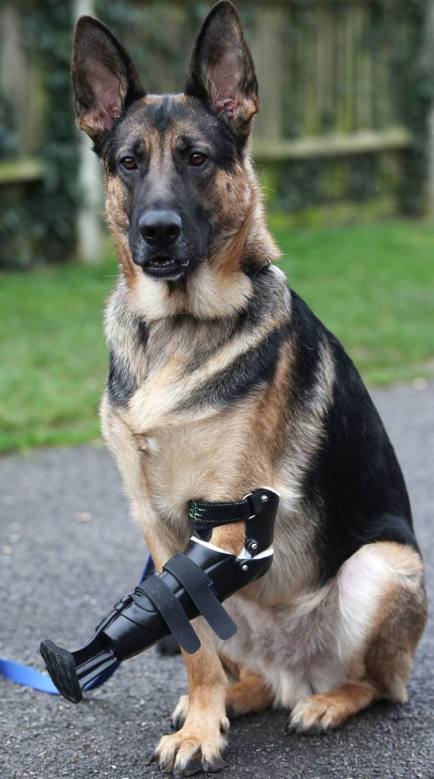 Shadow wearing his prosthetic paw