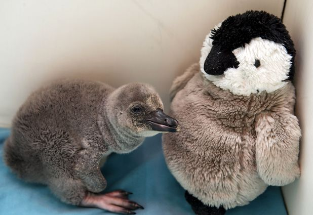 Baby penguin is hand-reared at London Zoo, Britain - 19 Feb 2014