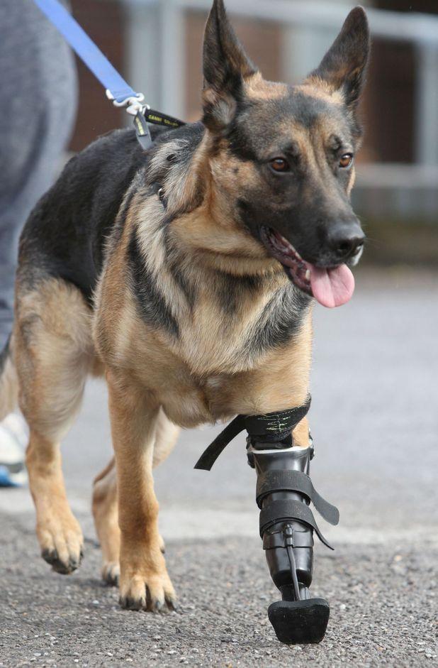 Three-legged rescue dog given new prosthetic paw, Hampshire, Britain