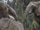 African elephant meets another elephant for first time in 37 years