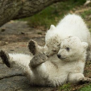 Polar bear twins unveiled to public at Hellabrunn Zoo, Munich, Germany - 19 Mar 2014