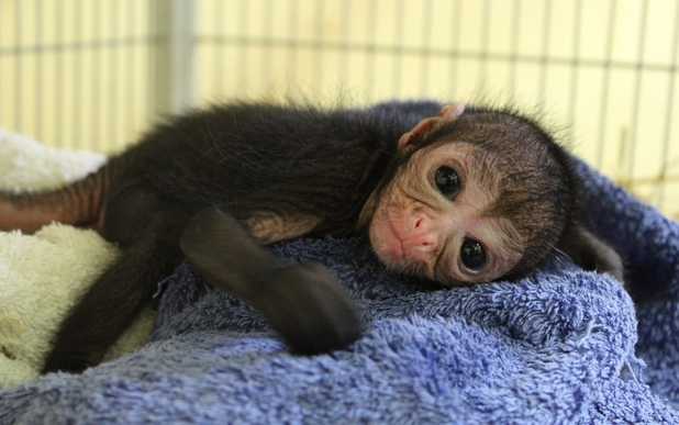 Newborn spider monkey is one of Chessington World Of Adventures Resort's latest arrivals this spring (26 March).