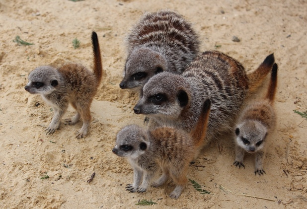 A meerkat clan at Chessington World Of Adventures Resort enjoys the spring sunshine after the arrival of four very cute babies (26 March).