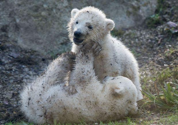 Polar bears Nela and Nobby wrestling in mud