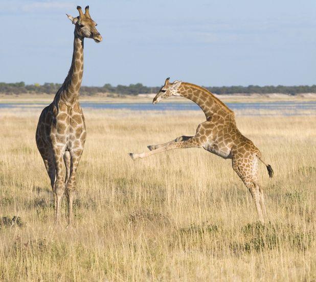 Giraffe learning how to run