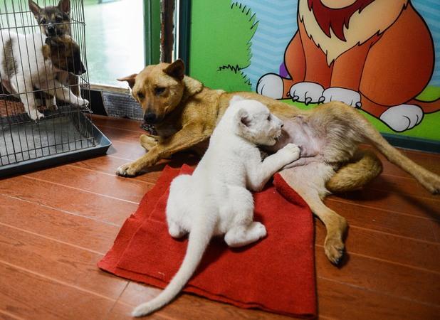 Lion cub fed by dog