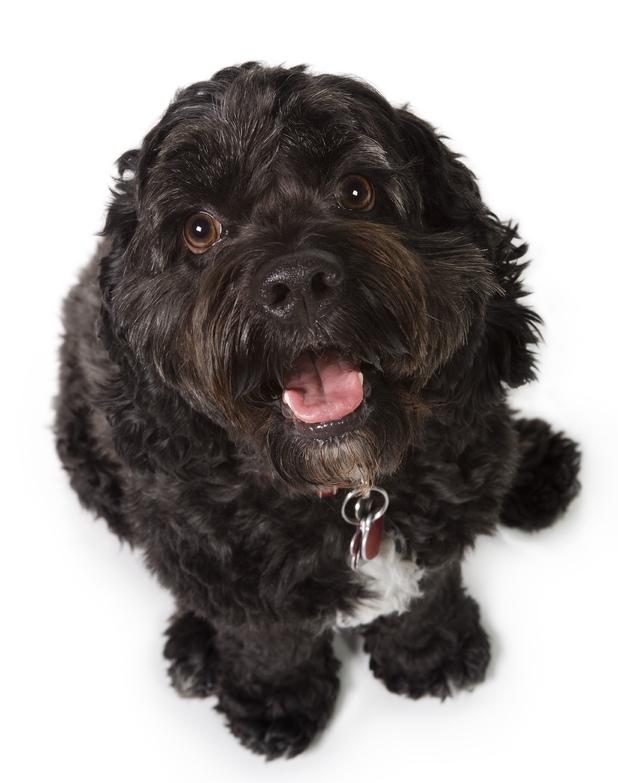Bichon-Cocker Spaniel Dog