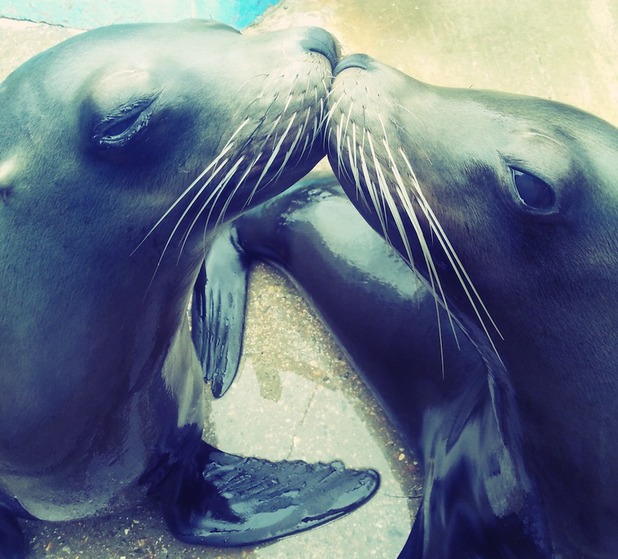 Carla and Ariel, sealions at Chessington World of Adventures Resort, show sisterly love with a peck on the nose in this zelfie - 12 May