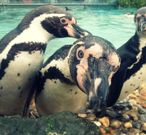 Inti, Bonzer and Kahuna, Humboldt Penguins at Chessington World Of Adventures Resort, take a quick zelfie whilst having fun splashing around - 12 May