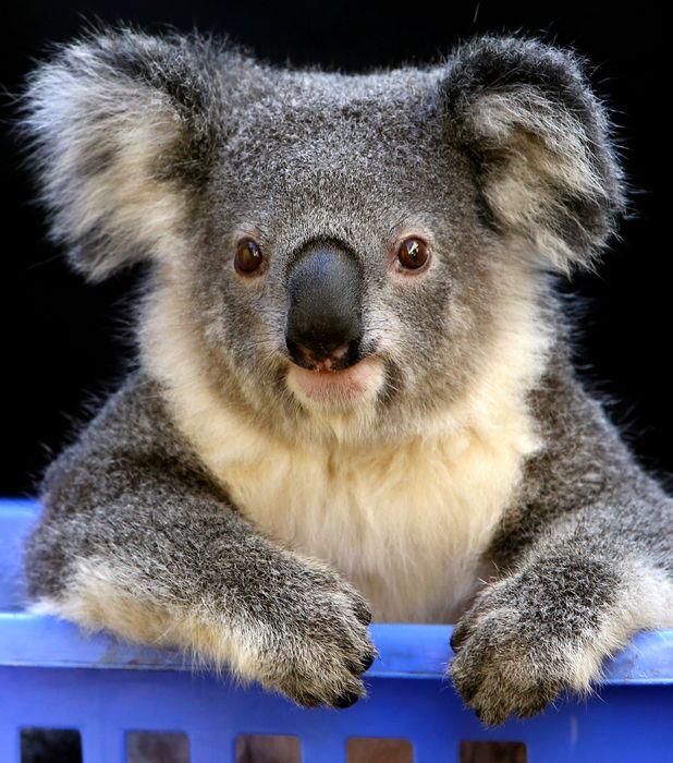 Zanani, koala left unable to climb after bushfire