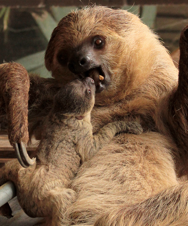 New arrival at London Zoo - baby sloth - 22 May