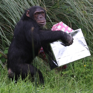 Chimps Phil and Grant turn 18, Whipsnade Zoo, 4 June