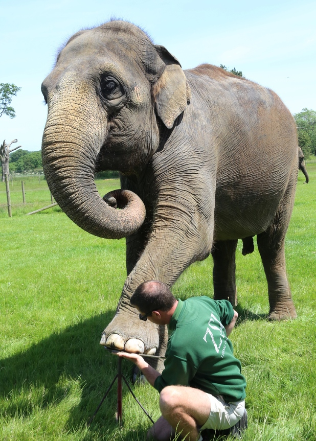 ZSL Whipsnade Zoo's elephants get a pedicure