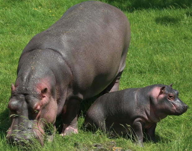 Holly hippo takes her first swim, ZSL Whipsnade Zoo, 15 June