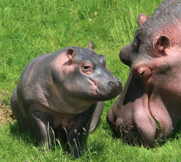 Holly the baby hippo takes her first swim, ZSL Whipsnade Zoo, 15 June