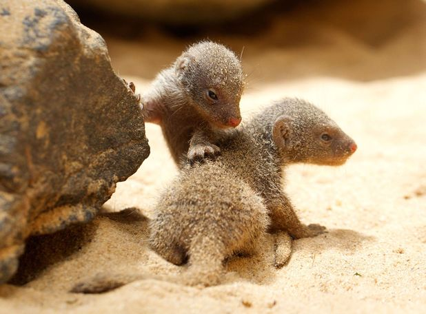Baby mongooses, born 27 June, 2014