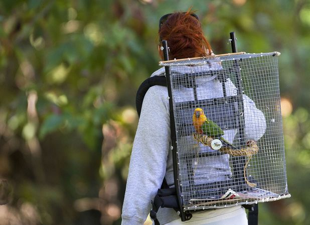 Parrot being taken for a walk in a 'backpack'