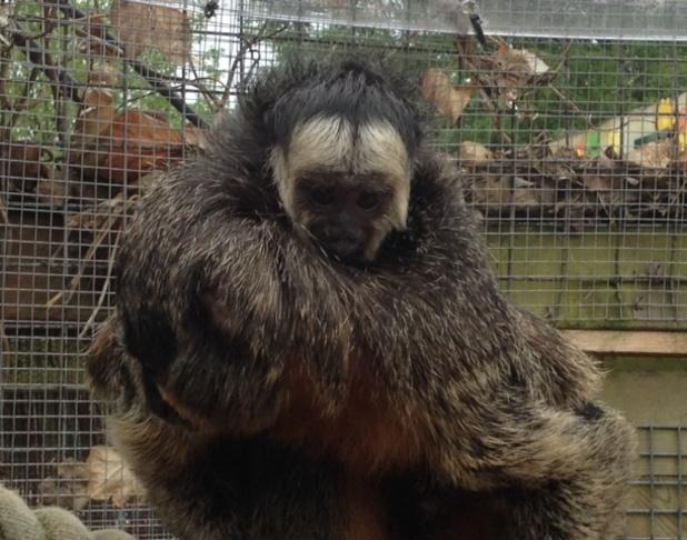 Poco, baby Saki monkey, Chessington Zoo, 10 July