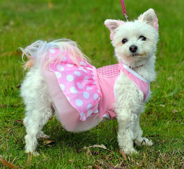 Princess Pixie Pants maltese terrier from New Zealand, 1 July