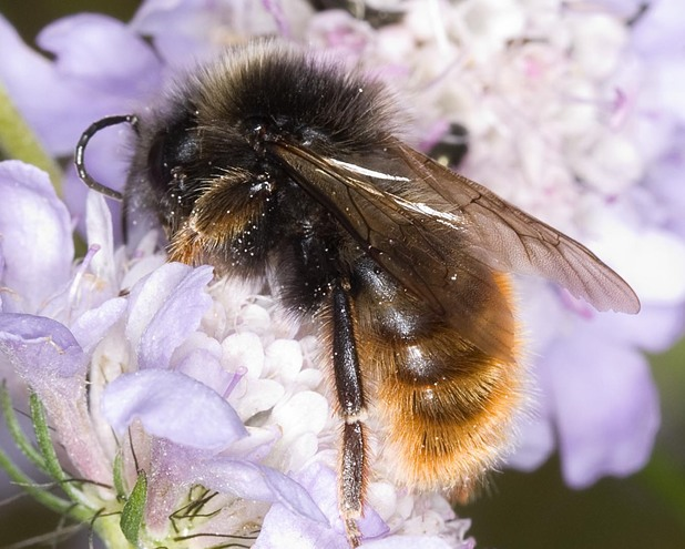 Bumblebee, Bumblebee Conservation Trust July 2014