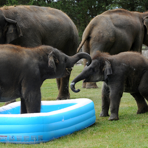 Elephants in paddling pool ZSL Whipsnade Zoo 14 August